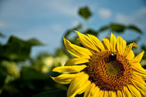 Sonnenblume by Michael Schickert
