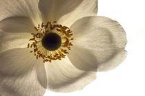 Weisse Blüte von Michael Schickert