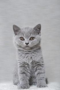 Britisch Kurzhaar Kitten / 100 von Heidi Bollich