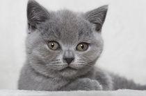 Britisch Kurzhaar Kitten / 98 von Heidi Bollich