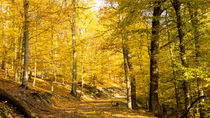 Goldener Herbstwald im gleißenden Sonnenlicht von Ronald Nickel