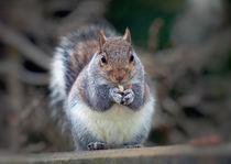 Eastern tree squirrel eating peanuts von Leighton Collins