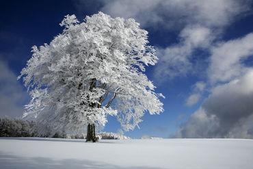Weisse windbuche im schwarzwald