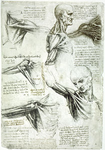 Leonardo / Sektion Schultermuskel/f. 137 v by AKG  Images