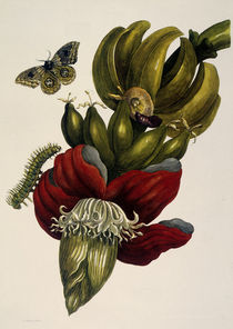 Banana and Automeris / NM. S. Merian / Copper Engraving, 1700 by AKG  Images