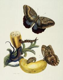 Banana Fruit and Caligo / M.S.Merian / Copper Engraving, 1700 by AKG  Images