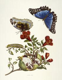 Punica Granatum und Morpho Melaneus / M. S. Merian / Copper Engraving, 1700 by AKG  Images