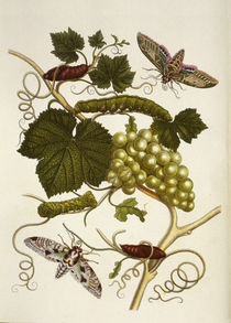 Grape-Vine and Moth /  M.S.Merian / Copper Engraving, 1705 by AKG  Images