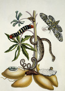 M.S.Merian, Manioc Root, Snake And Moth by AKG  Images