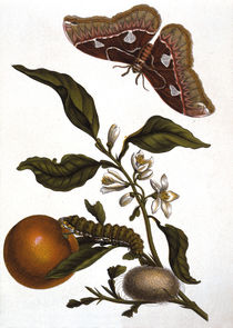 "M.S.Merian, ""Orange and moth"" / copper engraving by AKG  Images"