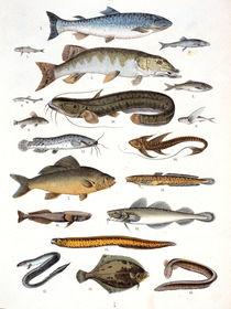 Grätenfische – Weichflosser / aus Bromme von AKG  Images