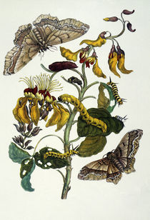 M.S.Merian / Coral tree and silkworm by AKG  Images