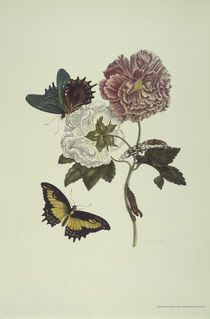 M.S.Merian / Hibiscus and Swallow Tail by AKG  Images