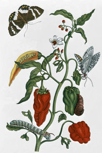Spanish Pepper / M. S. Merian by AKG  Images