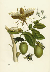 Genipa americana and Insects / Merian by AKG  Images