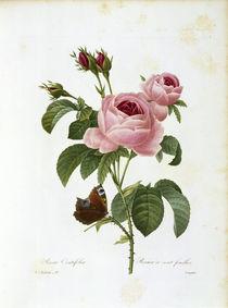 Rosa centifolia / Redouté 1835 Nr. 117 von AKG  Images
