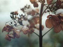 Hydrangea by Andrei Grigorev