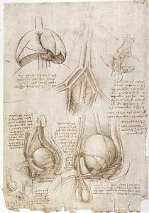 Leonardo / Lunge Blase Genitalien / fol. 106v by AKG  Images