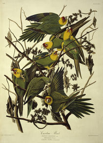 Carolina Parrots / after Audubon. by AKG  Images