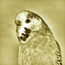 Golden Wellensittich von kattobello