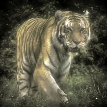 Tiger im Nebel by kattobello