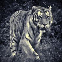 Tiger in schwarz und weiß 3 von kattobello