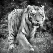 Tiger in schwarz und weiß 2 von kattobello