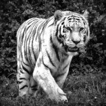 Tiger in schwarz und weiß 1 by kattobello