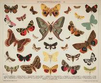 Schmetterlinge / Schautafel um 1905 von AKG  Images