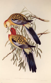 Splendid Parakeet / lithograph by Gould. by AKG  Images