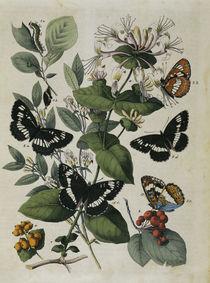Schmetterlinge – Eisfalter / Buch d. Welt von AKG  Images
