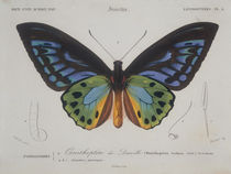 Butterflies / Ornithoptera Urvilleanus. by AKG  Images