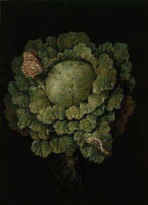 Savoy cabbage / Cabbage head & butterfly by AKG  Images