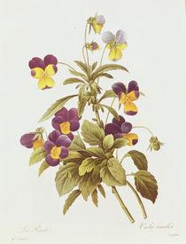 Viola Tricolour von Pierre Joseph Redoute
