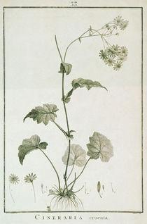Cineraria Cruenta, from 'Sertum Angelicum' von Pierre Joseph Redoute