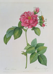 Rosa Turbinata, from ,Les Roses' von Pierre Joseph Redoute