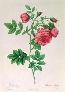 Rosa Rapa von Pierre Joseph Redoute