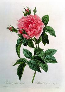 Rosa Gallica Regallis, from 'Les Roses' von Pierre Joseph Redoute