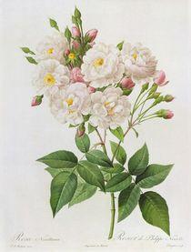 Rosa Noisettiana, from'Les Roses' von Pierre Joseph Redoute