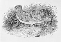 The Skylark from the 'History of British Birds' Volume I by Thomas Bewick