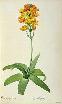 Ornithogalum Aureum, from `Les Liliacees' von Pierre Joseph Redoute