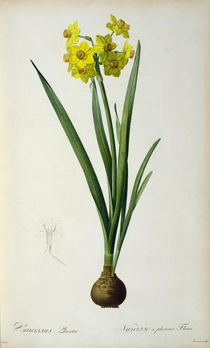 Narcissus Lazetta, from `'Plantae Selectae' by Christoph Jakob Trew von Pierre Joseph Redoute