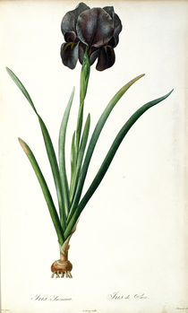 Iris Luxiana, from `Les Liliacees' von Pierre Joseph Redoute