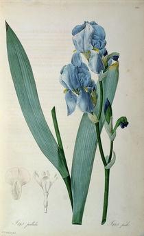 Iris Pallida, from `Les Liliacees' von Pierre Joseph Redoute