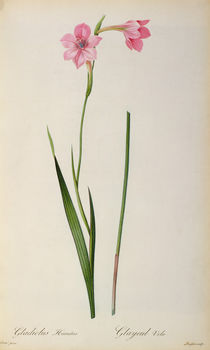 Gladiolus Hirsulus, from `Les Liliacees' von Pierre Joseph Redoute