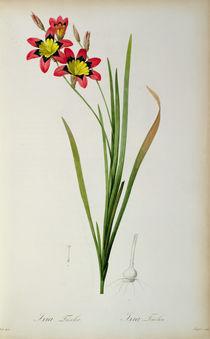 Ixia Tricolor, from `Les Liliacees' von Pierre Joseph Redoute