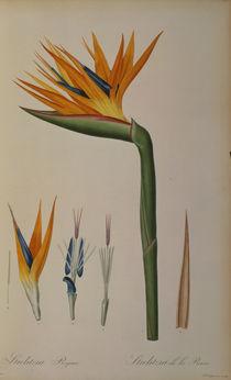 Strelitzia Reginae, from 'Les Strelitziacees' von Pierre Joseph Redoute