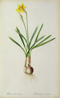 Narcissus Gouani, from `Les Liliacees' von Pierre Joseph Redoute