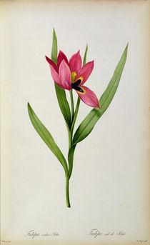 Tulipa oculus-solis, from 'Tulipe des Jardins' von Pierre Joseph Redoute