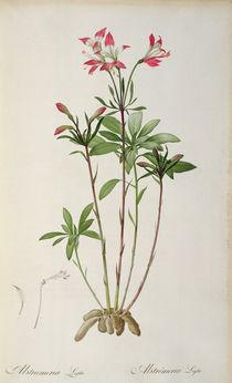 Alstraemeria Ligtu, from `Les Liliacees' by Pierre Redoute von Pierre Joseph Redoute